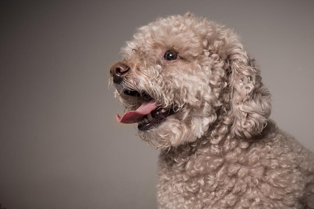 A degeneração cognitiva atinge cães em idade mais avançadas